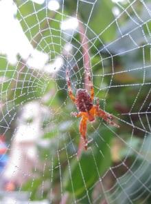 Spider making web
