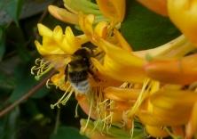 Bee gathering honey