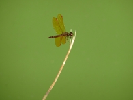 Dragonfly in Central Park, New York